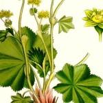 297_Alchemilla_vulgaris_600
